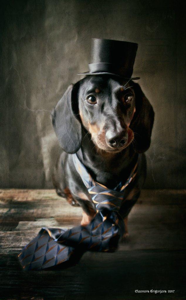 собака, такса, галстук, шляпа, Eleonora Grigorjeva