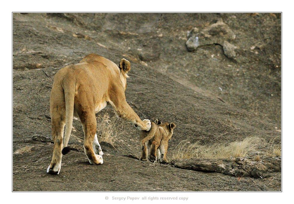 львы, кения, дикая природа, отношения животных, фотография дикой природы, Попов Сергей