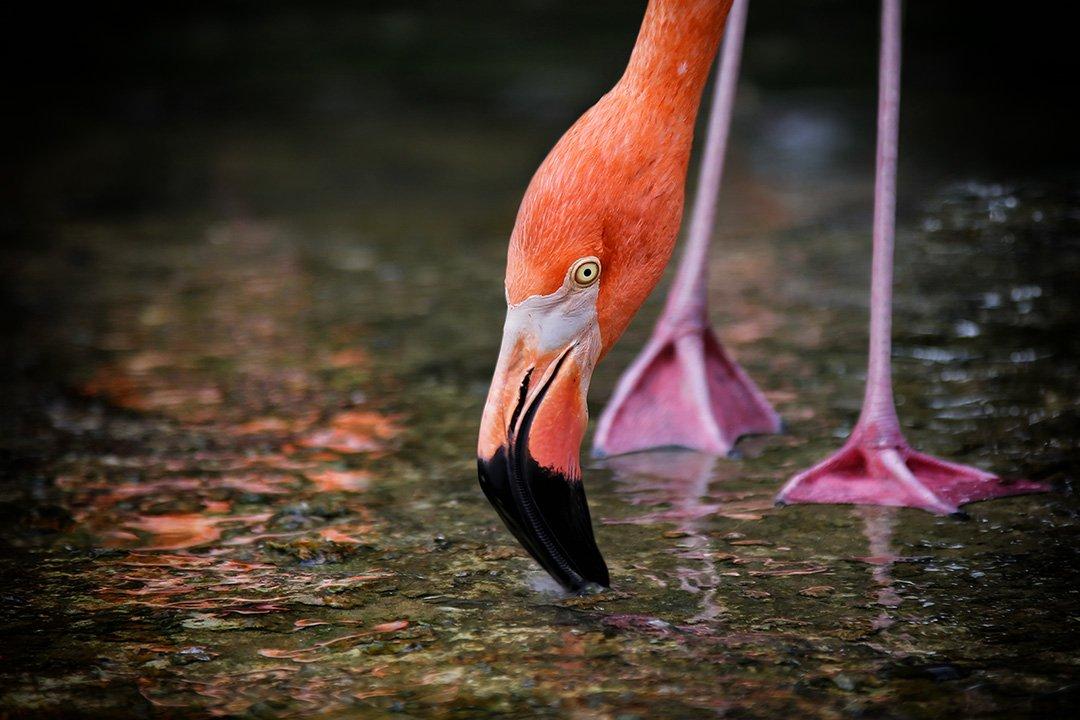 фламинго, лапы, ноги, клюв, водопой, вода, отражение, Alla Sokolova
