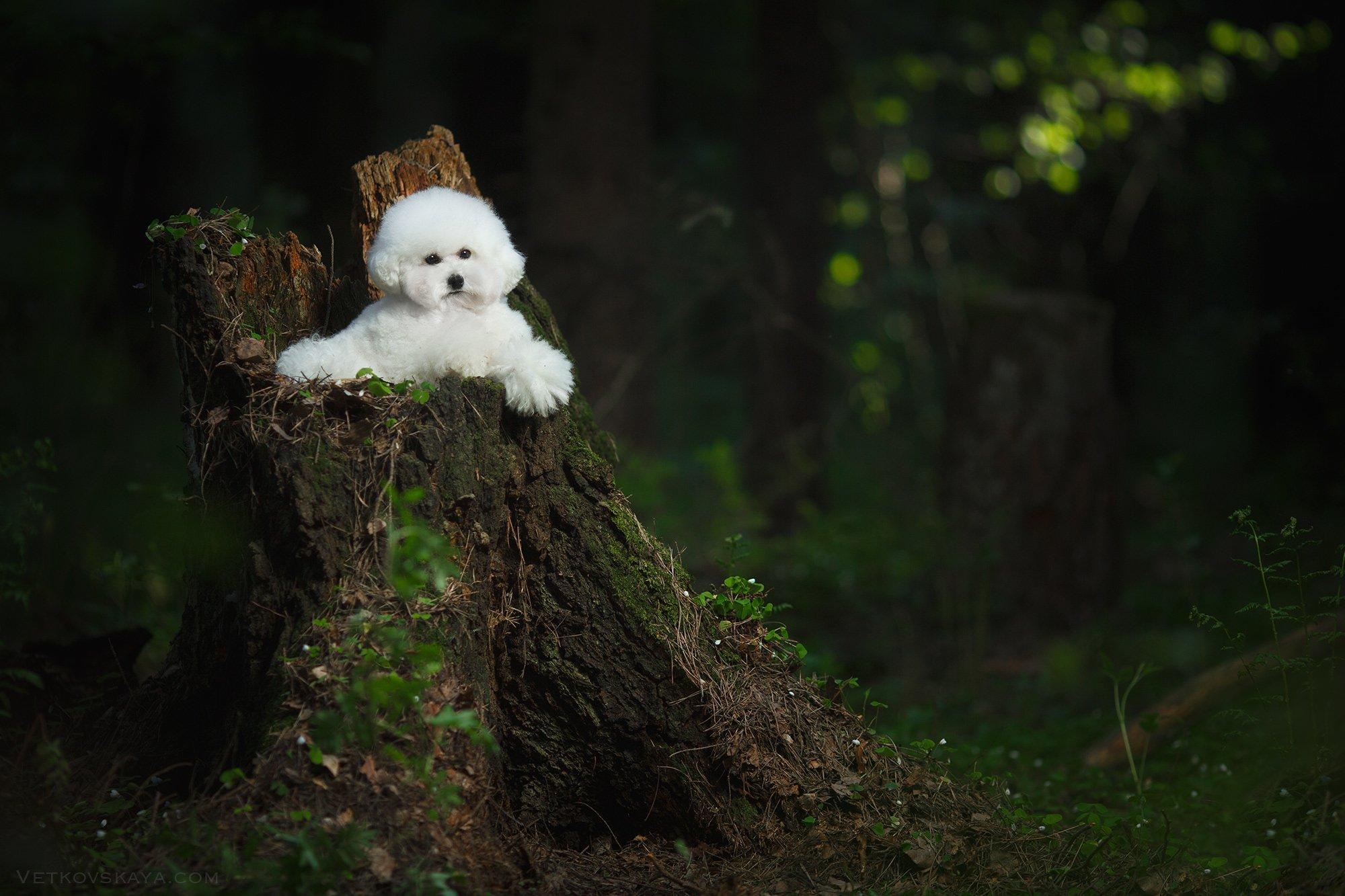 собака, лес, пудель, мох, бишон, Анастасия Ветковская