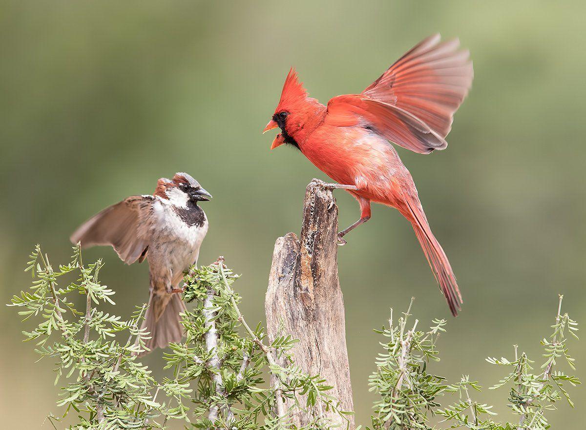 красный кардинал, northern cardinal, воробей, sparrow, texas, tx, Elizabeth E