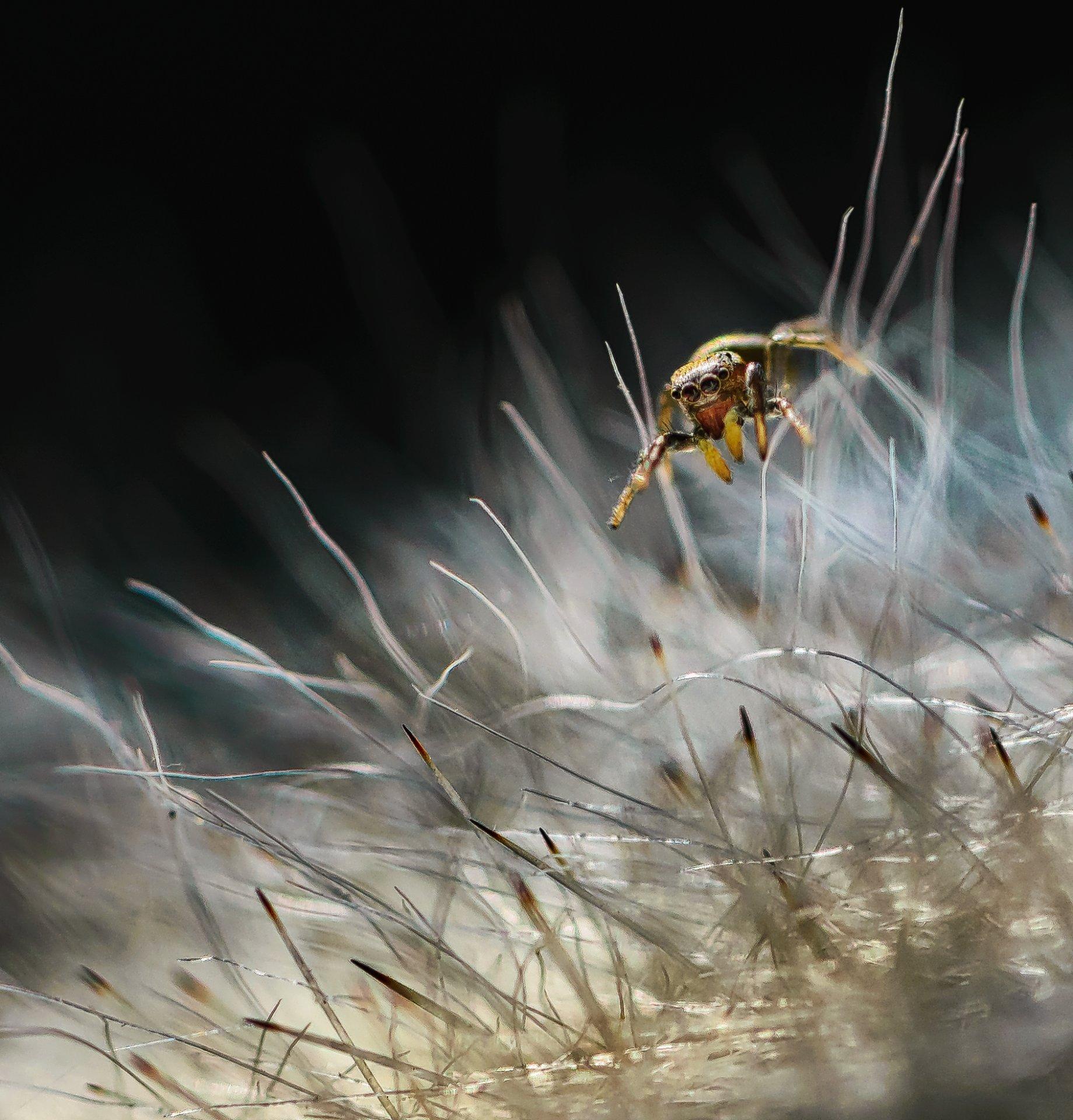 природа, макро, паук, скакунчик, кактус, мамиллярия, Неля Рачкова