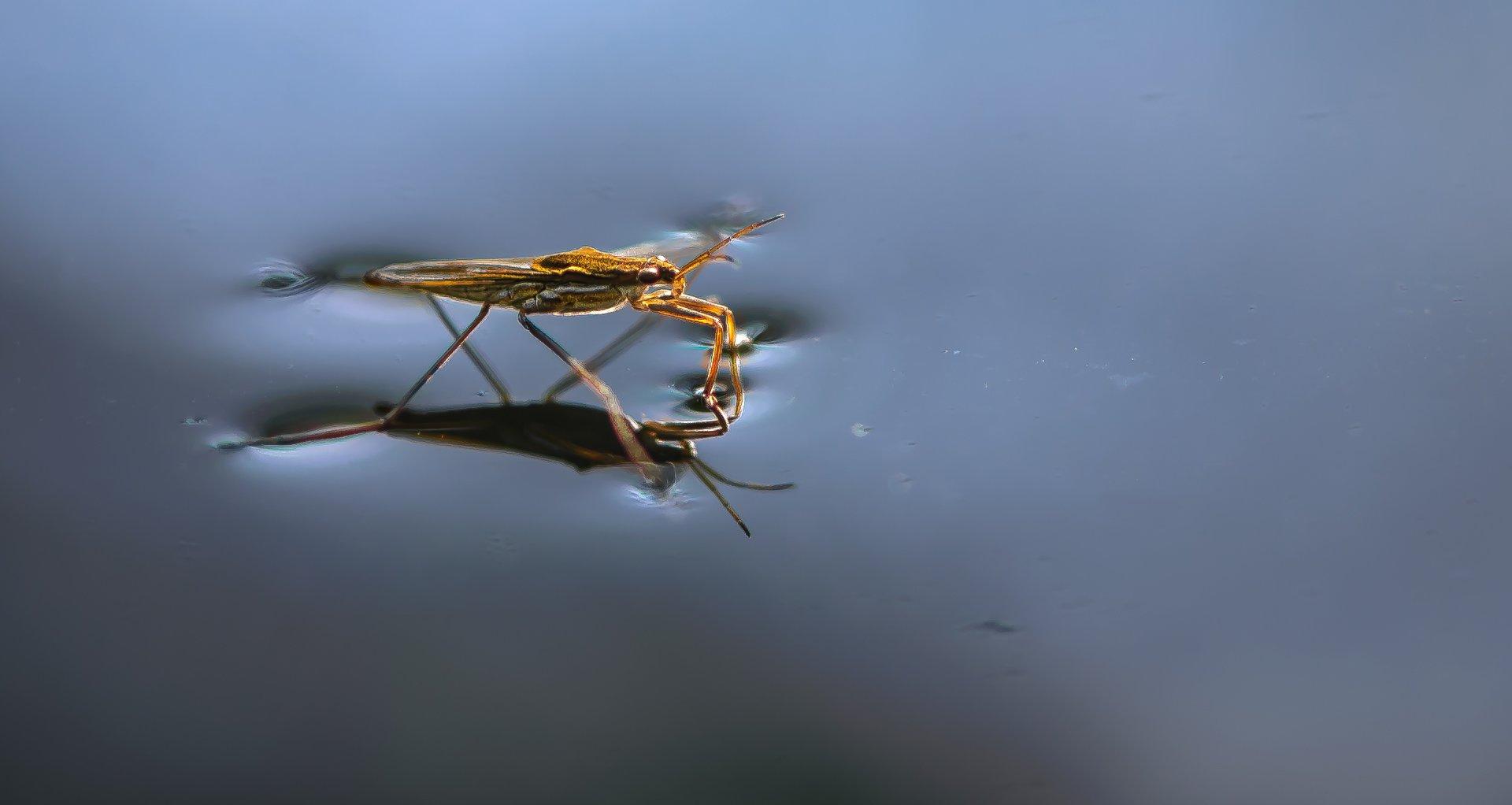 природа, макро, насекомое, водомерка, Неля Рачкова
