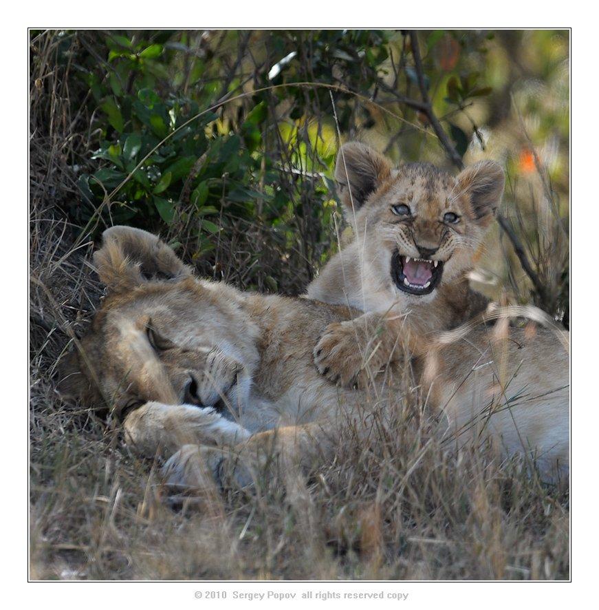 кения, львы, отношения. фотография дикой природы, Попов Сергей