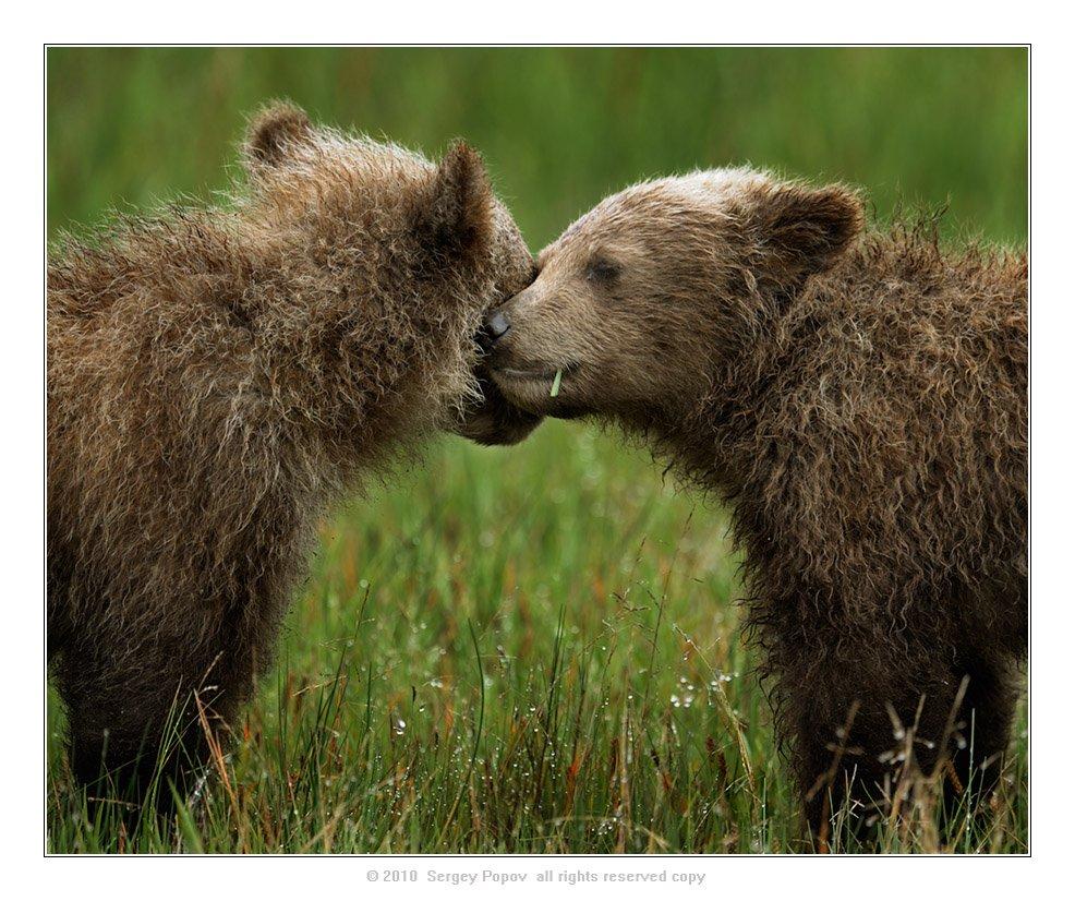 аляска, дикие животные, медведи, фотографии диких животных, Попов Сергей