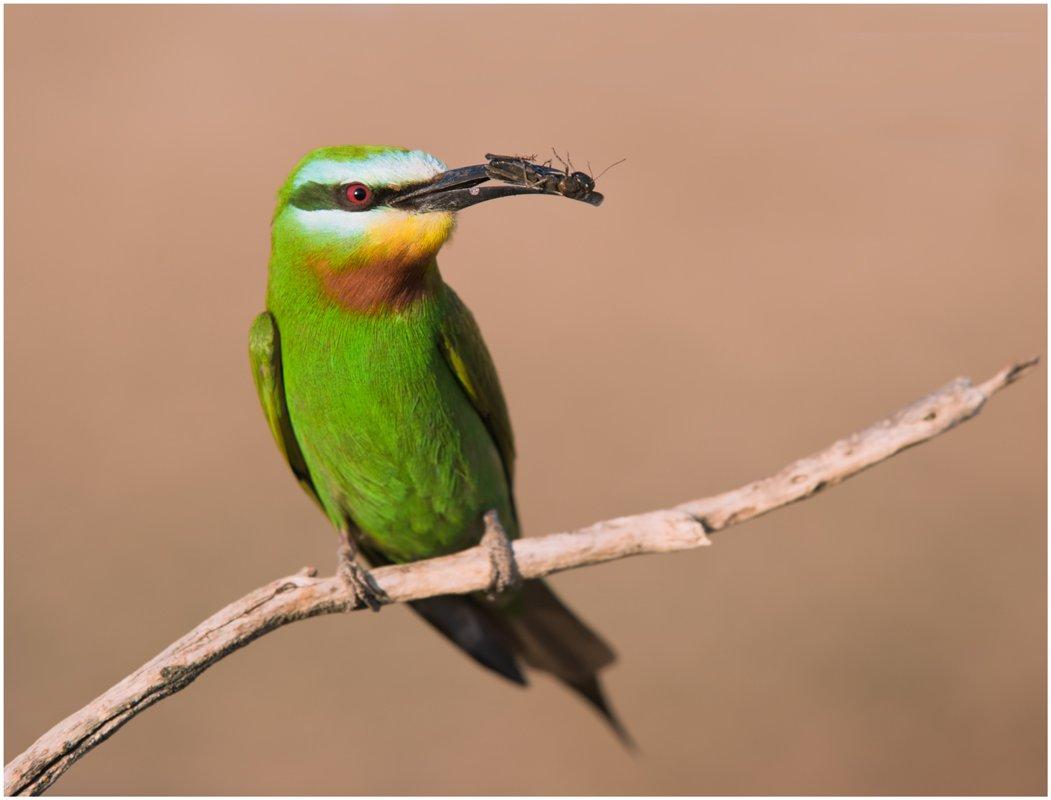 зеленая щурка,птицы,фотоохота, Ravilin