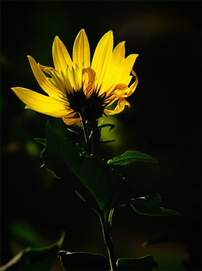 растение, топинамбур, цветы, флора, ЦокоТушка