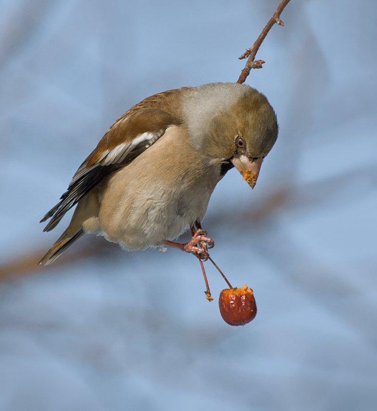 птицы,дубонос,фотоохота, Ravilin