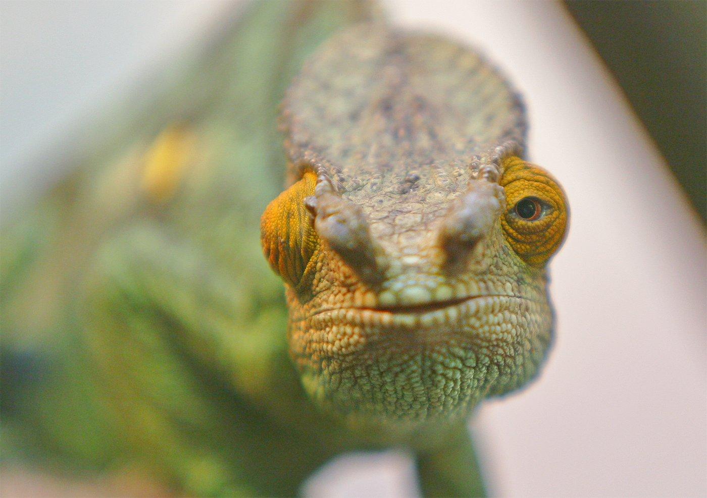 Chameleon, © =Vladimir Meshkov=