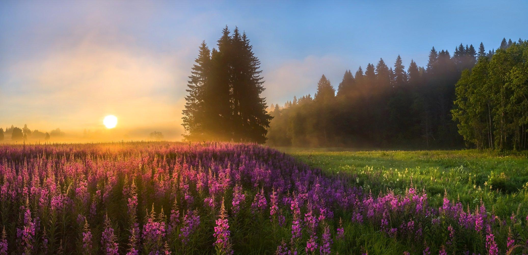 фототур, лето, иван-чай, цветы, ленинградская область, деревья, лес, берёзы, рассвет, ель, туман, солнце, луг, Лашков Фёдор