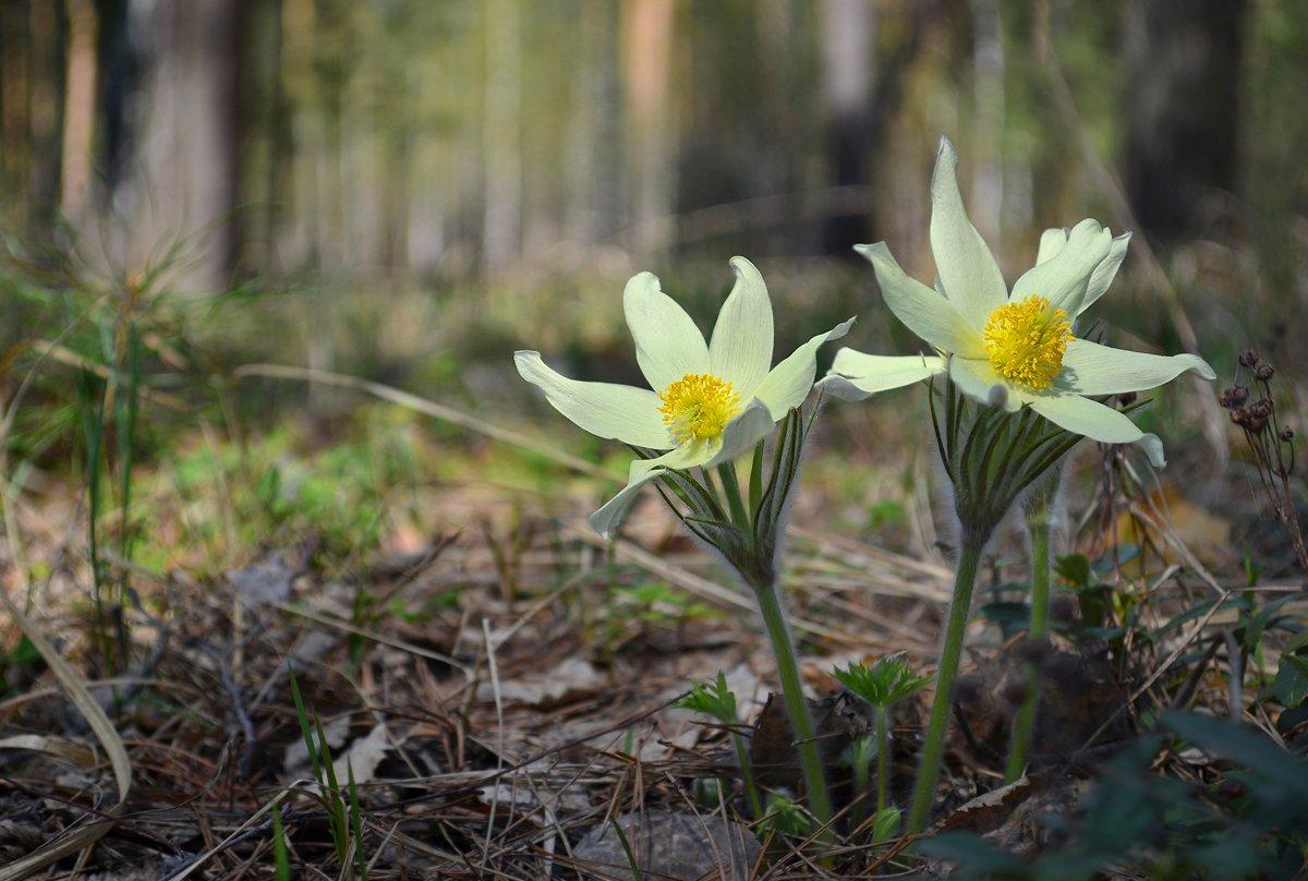 тёплый день, лес, цветы, сон-трава, май, Irina Shapronova