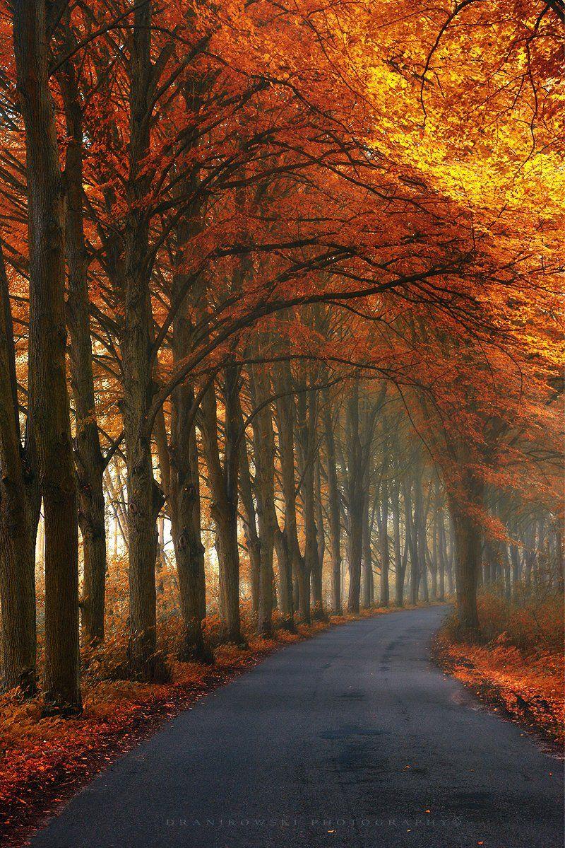 autumn corridor road tree tunnel jesien tunel gold leafs dranikowski poland path mist magic, Radoslaw Dranikowski