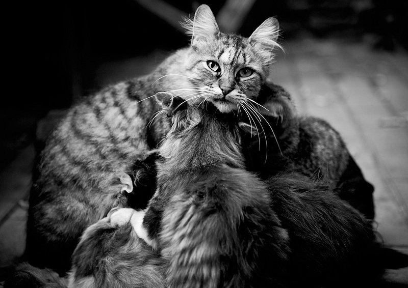 кошка, мамаша, котята, Марк