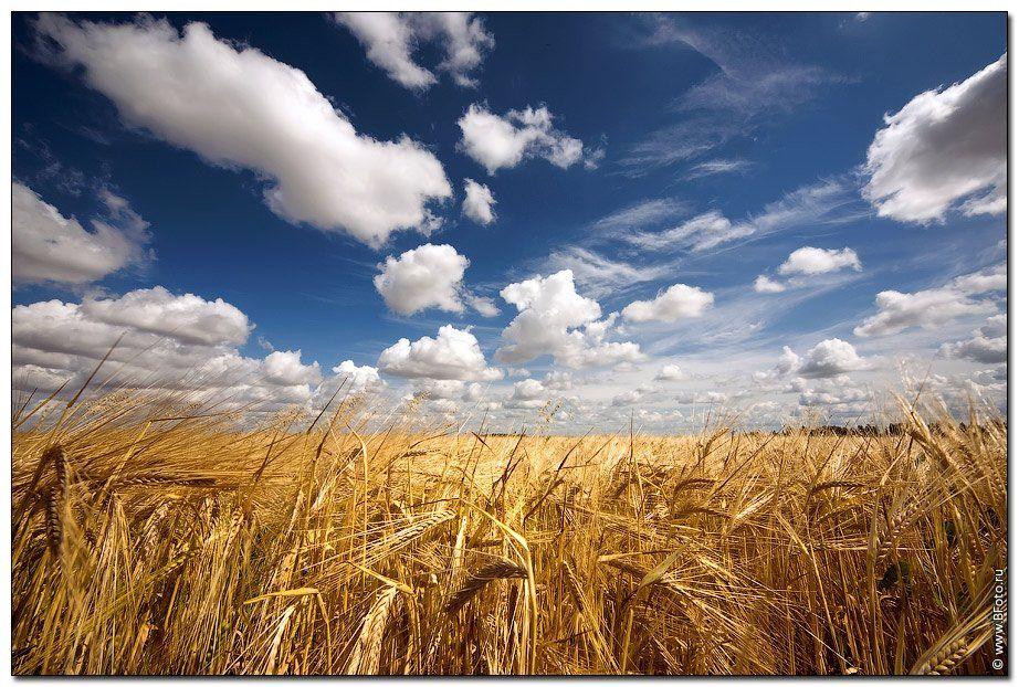 поле, лето, пейзаж, природа, пшеница, колосья, Алексей Строганов www.BFoto.ru