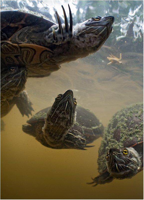 черепаха, доминикана, Сергей Шанин