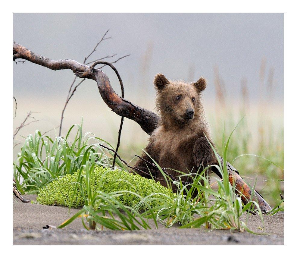 медведи, аляска, фотоохота, дикая природа, Попов Сергей
