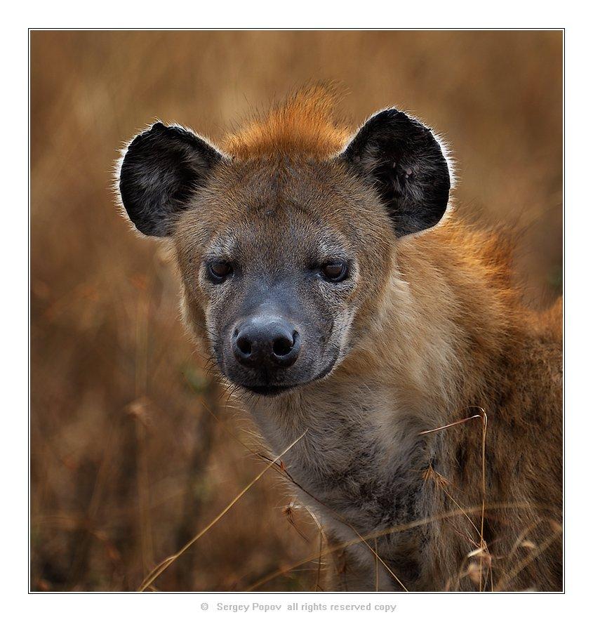 гиена, дикие животные, масай мара, кения, Попов Сергей