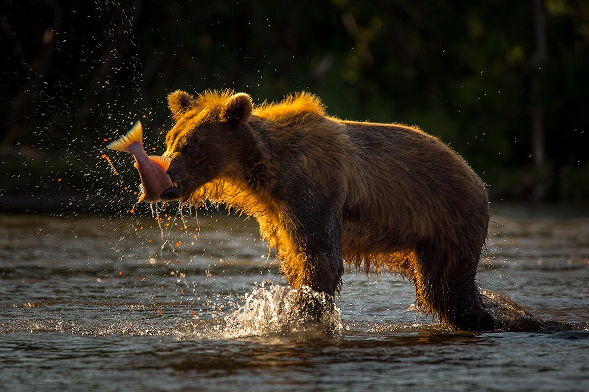 Камчатка, лето, природа, путешествие, медведь, животные, Денис Будьков