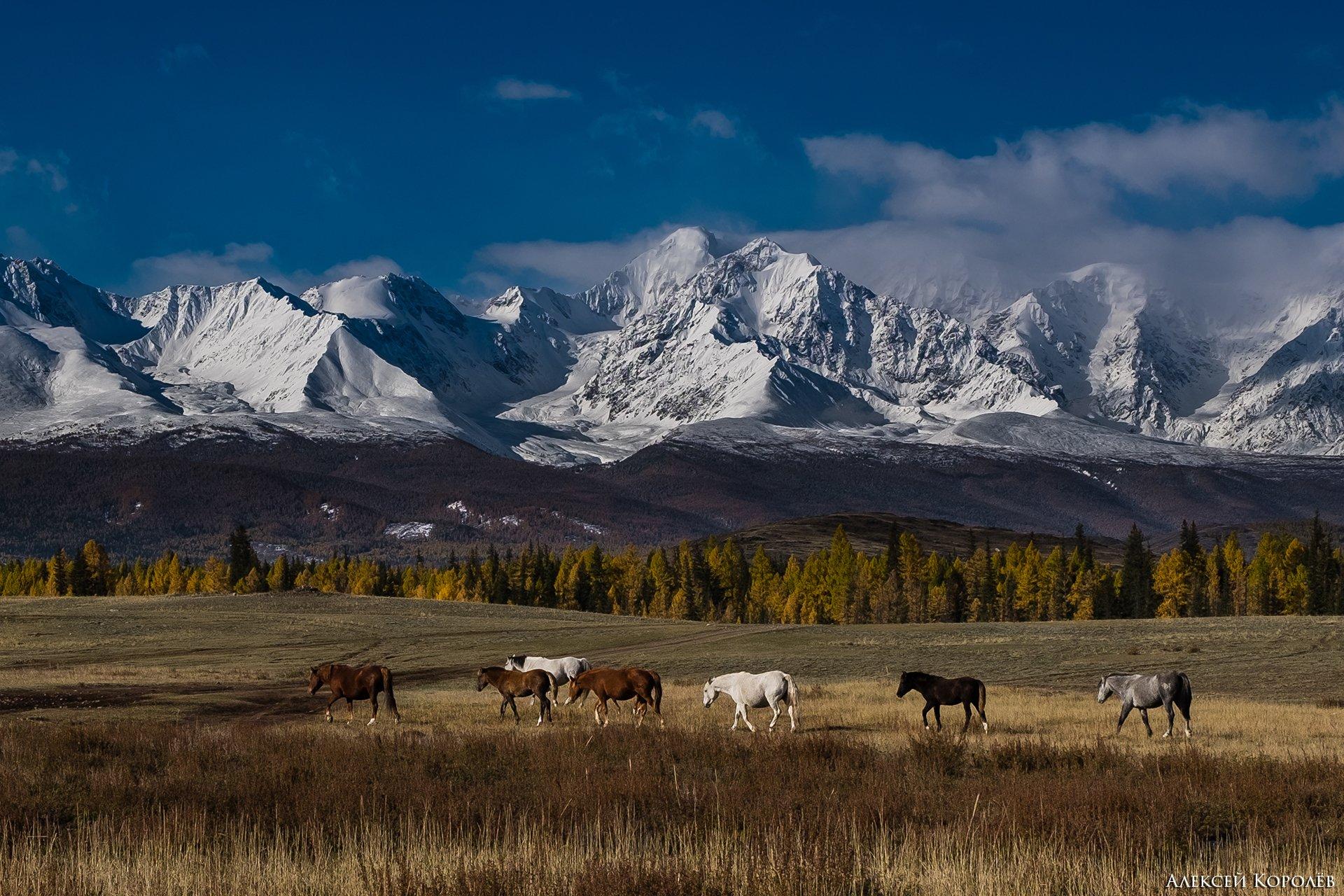 алтай, курайская степь, осень, горы, природа, пейзаж, лошади, животные, Алексей Королёв