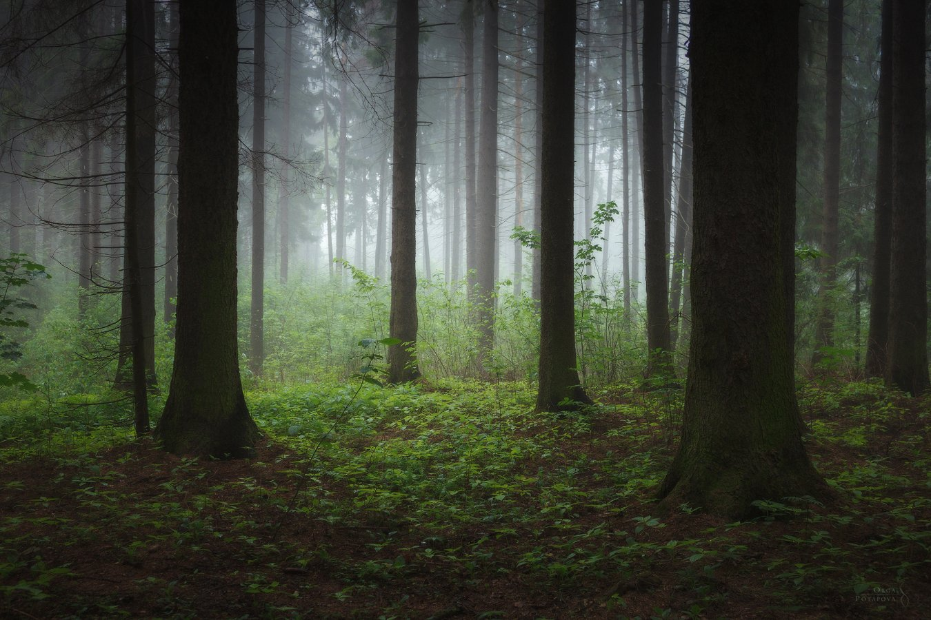 еловый лес, зеленоград, туман, зелень, лето, Ольга Потапова