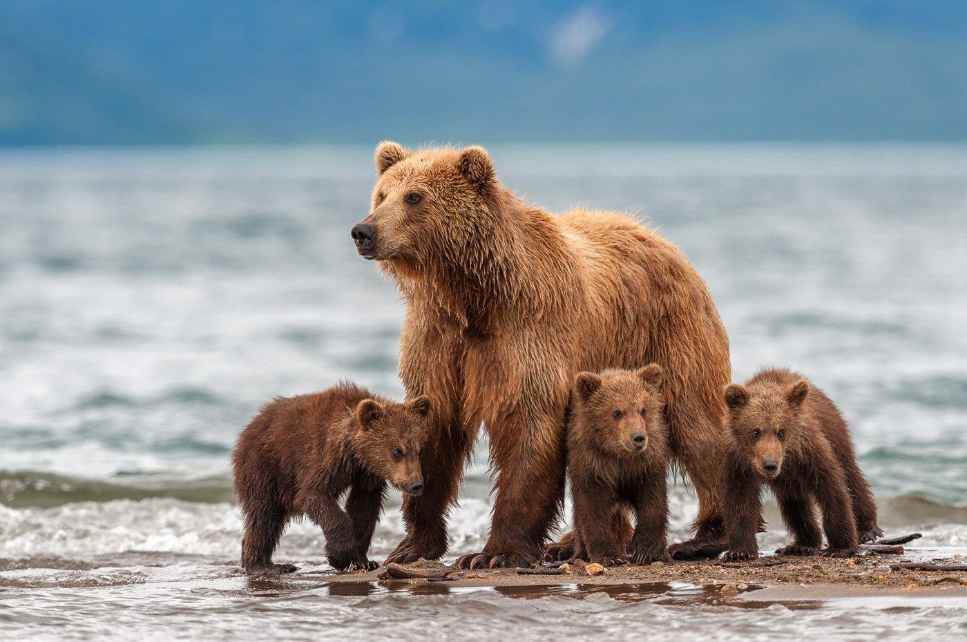 #bear #kamchatka #wildlife #wildlifephotography #wildnature #nikon #outdoors #animal #nature  #naturelovers #bearphoto  #cubs, Сергей Иванов