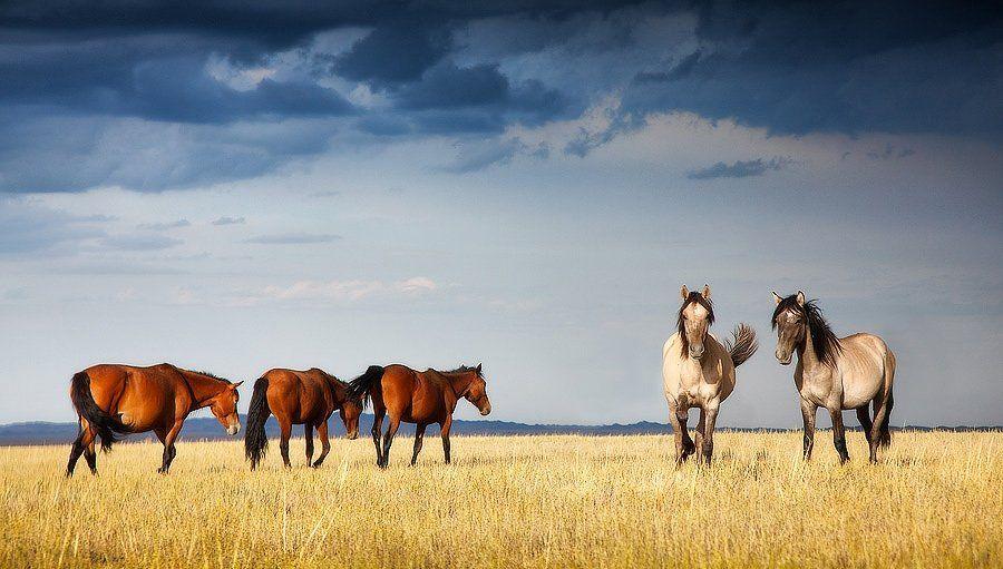 природа, казахстан, лошади, степь, Constantine Kikvidze
