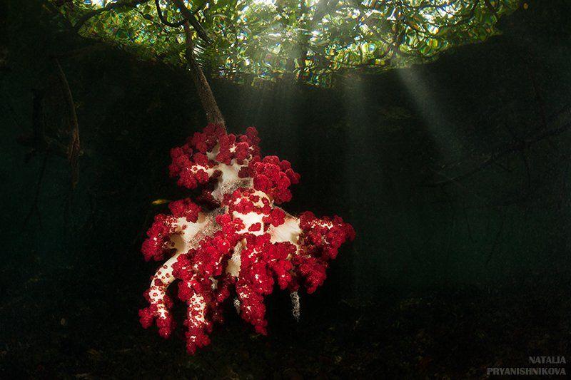 подводная съемка, вода, свет, коралл, лучи, мангры, Natalia Pryanishnikova