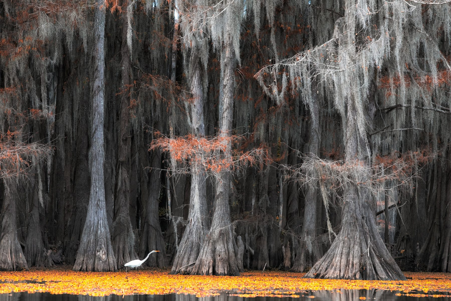 us, texas, #мояамерика, swamps, cypresses, egret, цапля, Маргарита Чернилова