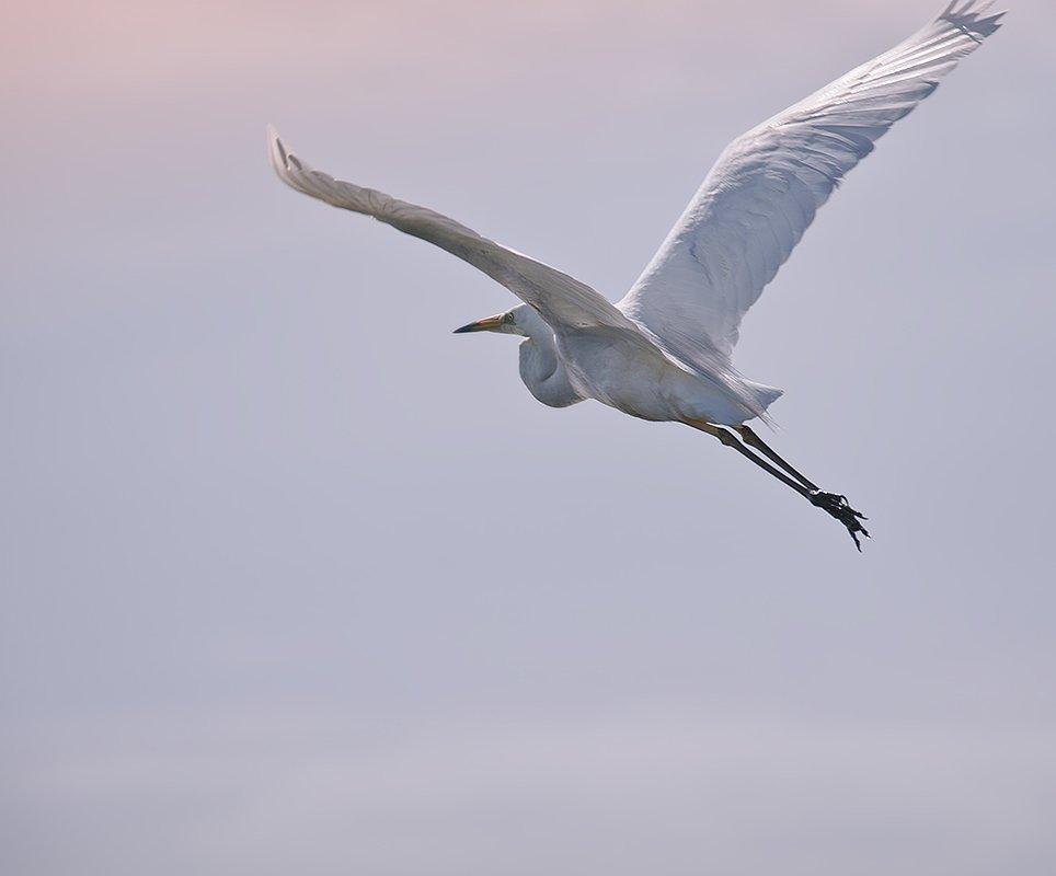 птицы,большая,белая,цапля,фотоохота, Ravilin