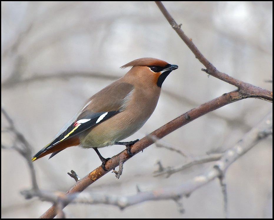 птицы,свиристель,фотоохота, Ravilin