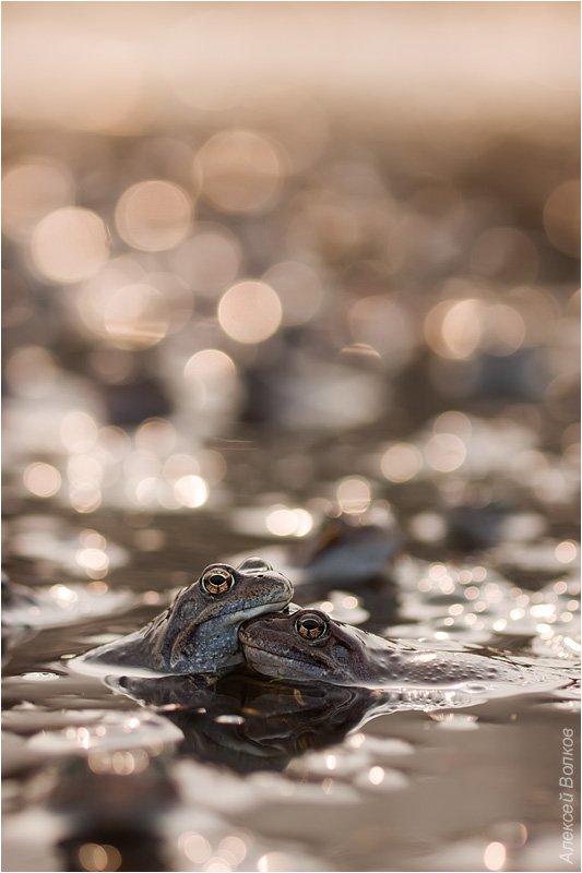 травяная лягушка, rana temporaria, Amazon-san