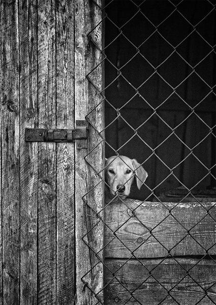 собака, взгляд, решетка, ограда, чб, грусть, vladimirvolkhonsky