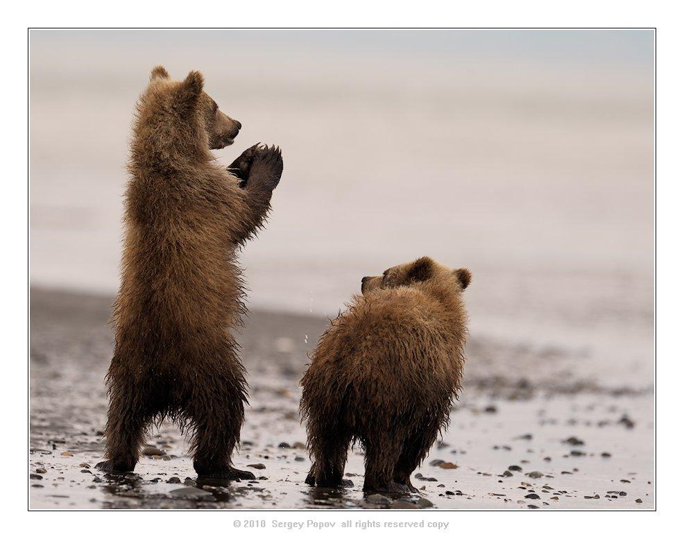 медведи, дикая природа, фотографии дикой природы, аляска, Попов Сергей