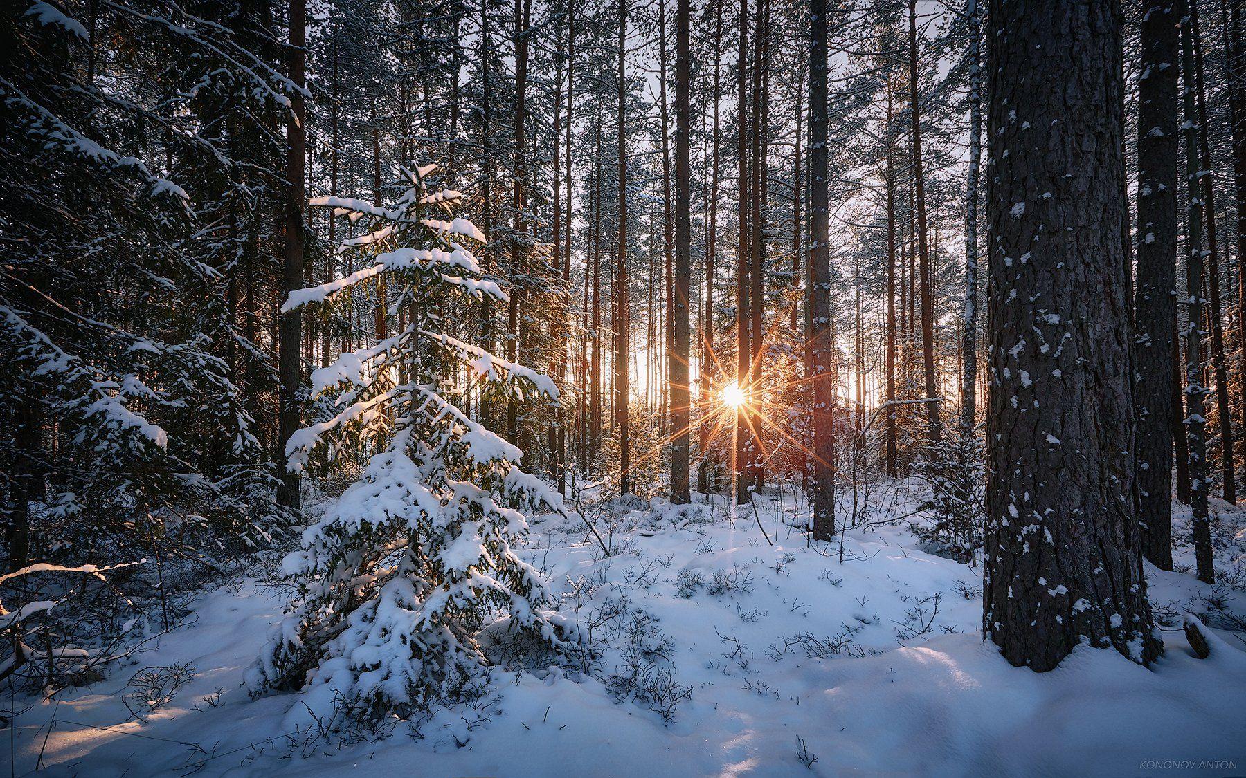 Зима, лес, сосны, солнце, закат, Антон Кононов