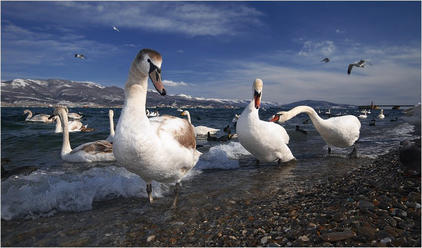 новороссийск,зима,бухта,лебеди, Александр Штин