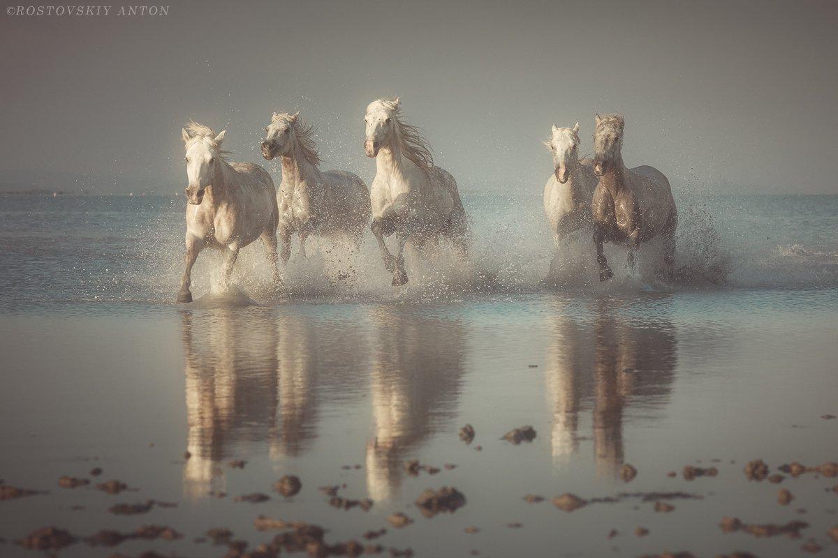 камарг, фототур, фотопутешествие, ангелы камарга, лошадь, конь, жеребцы, франция, Антон Ростовский