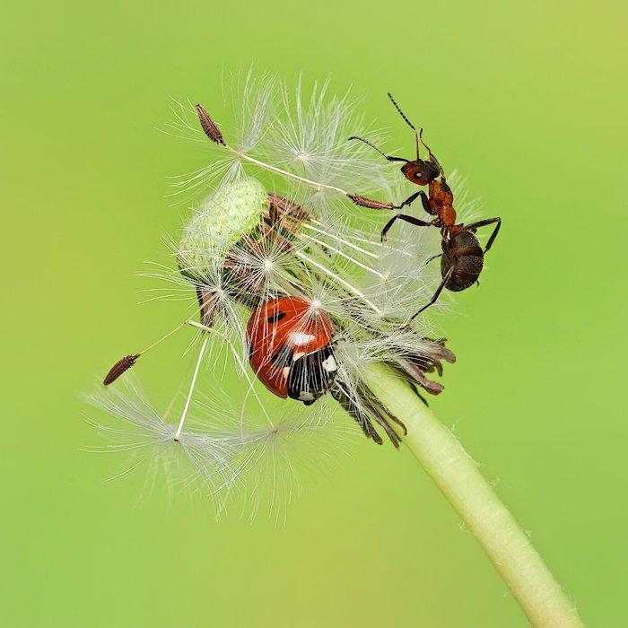 макро, макросъемка, насекомые, божья коровка, муравей, одуванчик, Sokolova Tatiana