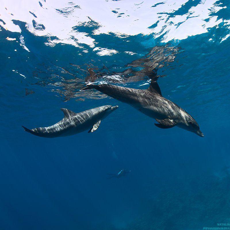 дельфины, море, солнце, вода, дайвер, Natalia Pryanishnikova