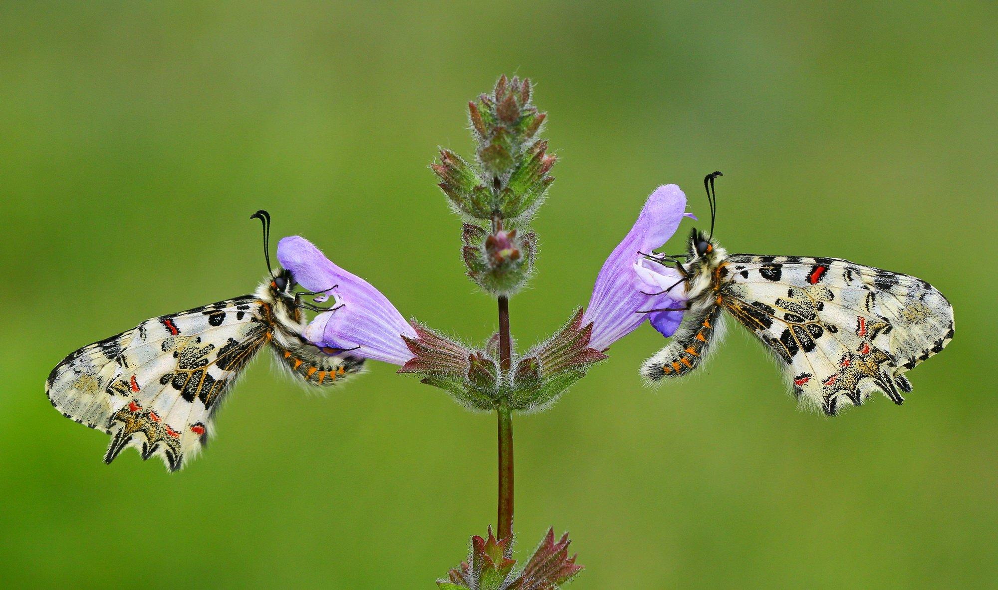 butterfly,macro,nature,northcyprus,cyprus, Hasan Baglar