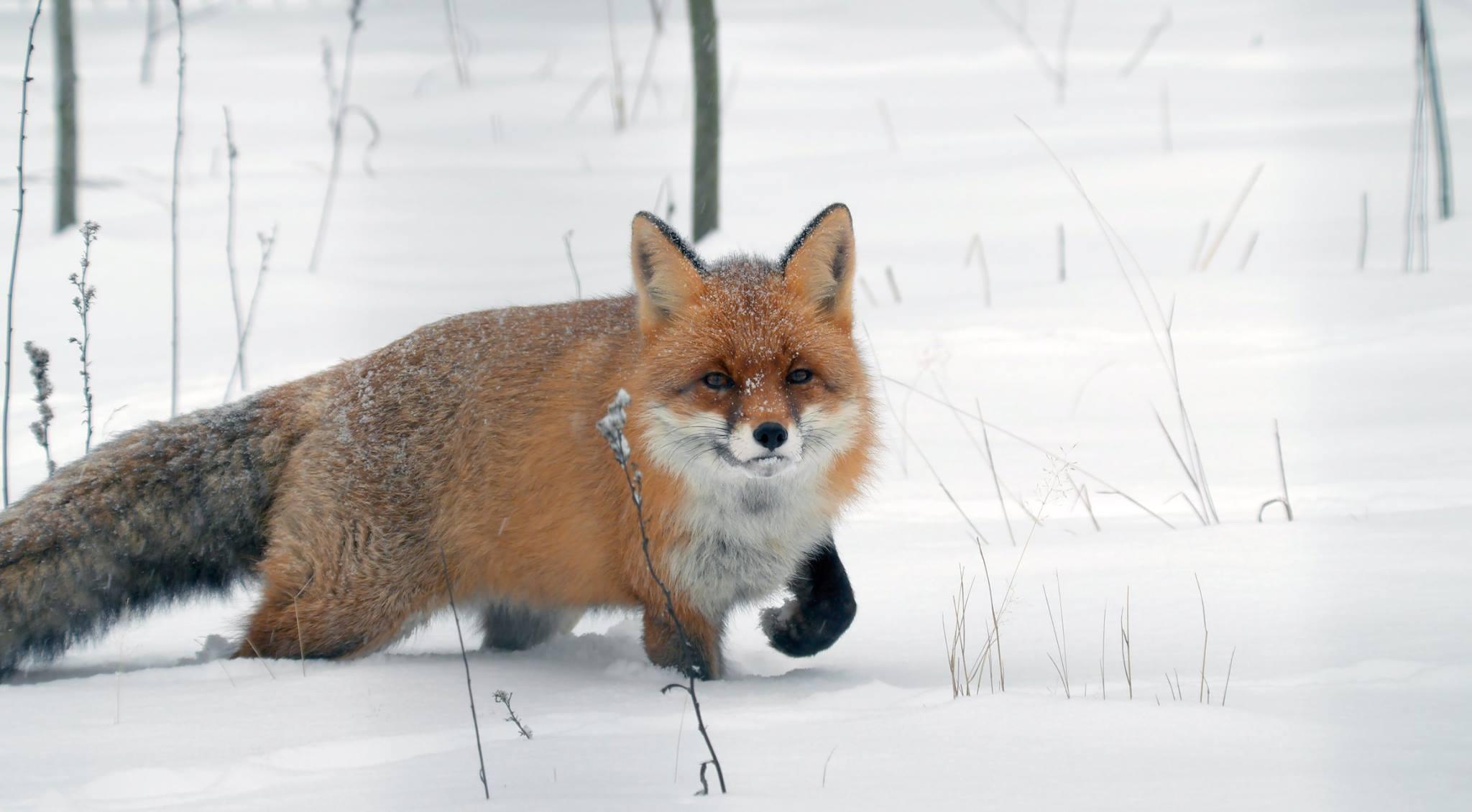 Лиса.Хитрый.Снег., Илья Бышнёв