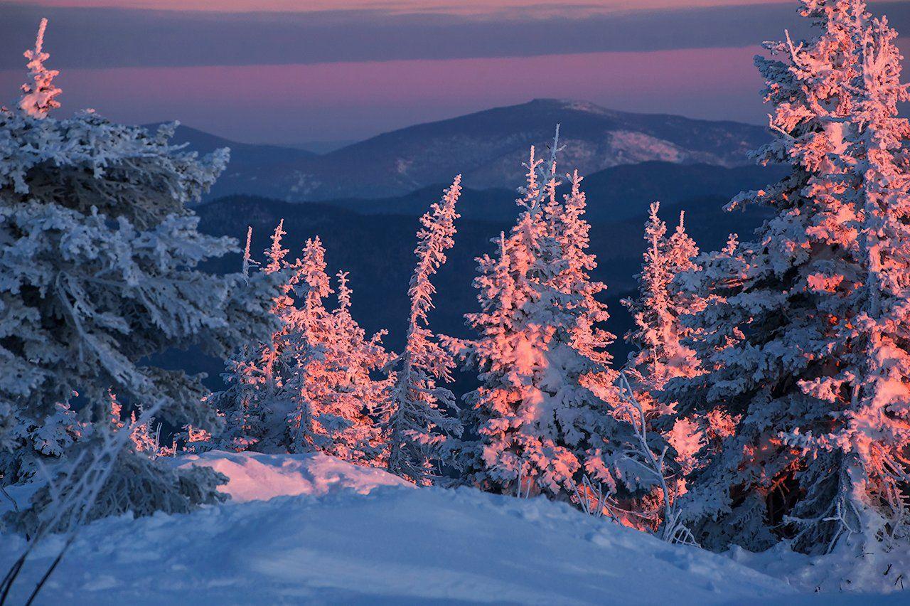 зима, снег, пихты, склоны, маджента, розовый вечер, закат, гора, зелёная, шерегеш, горная шория, сибирь, Валерий Пешков