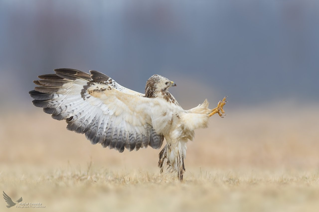 birds, nature, animals, wildlife, colors, winter, meadow, flight, nikon, nikkor, lens, lubuskie, poland, Rafał Szozda