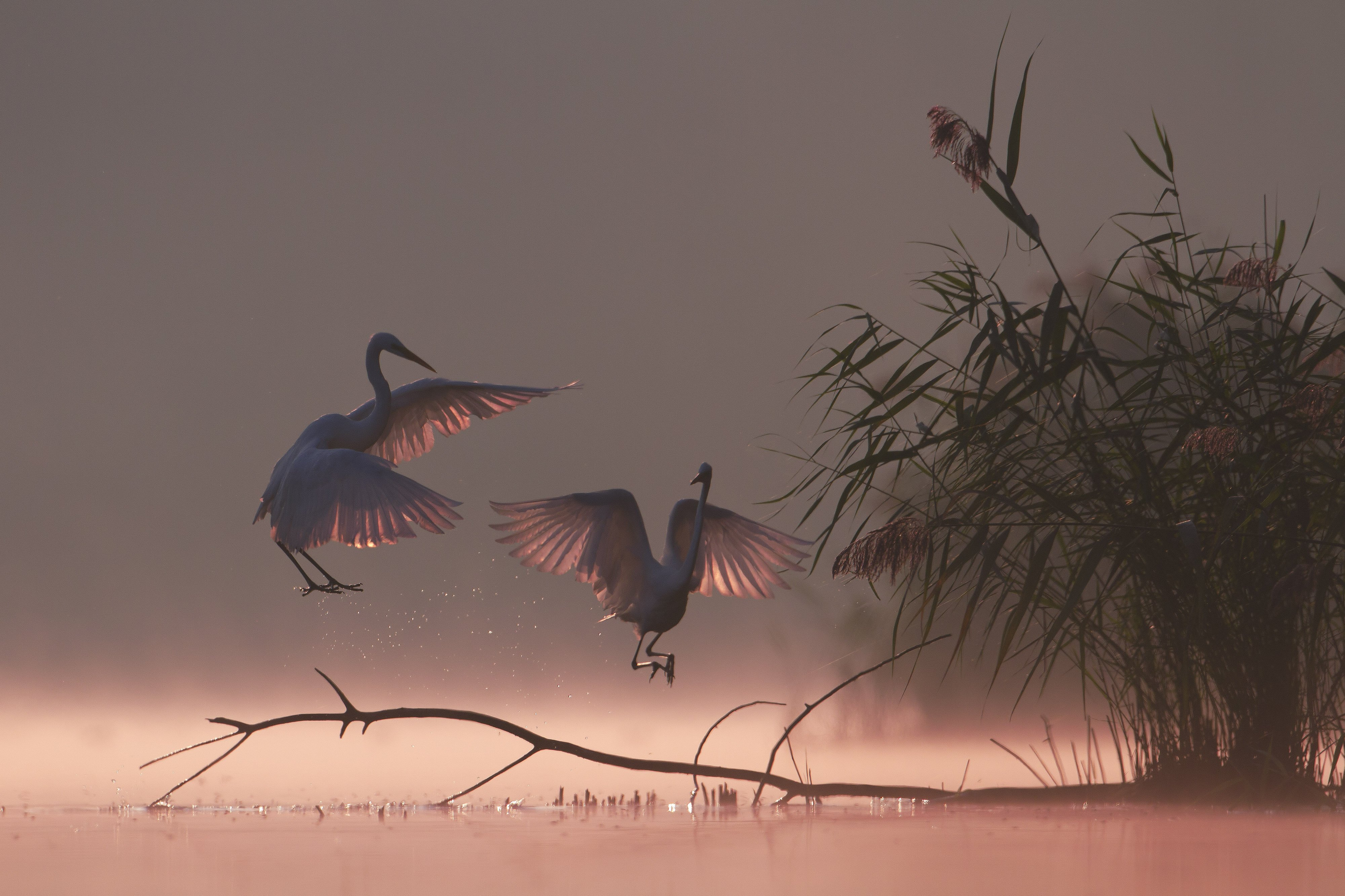 great egret, mist, sunrise, pond, nature, wildlife, morning, Grzegorz Zimny