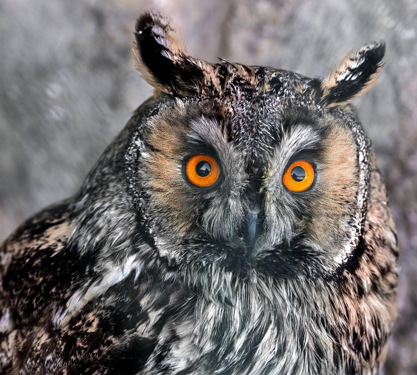 ушастая сова, Олег Богданов