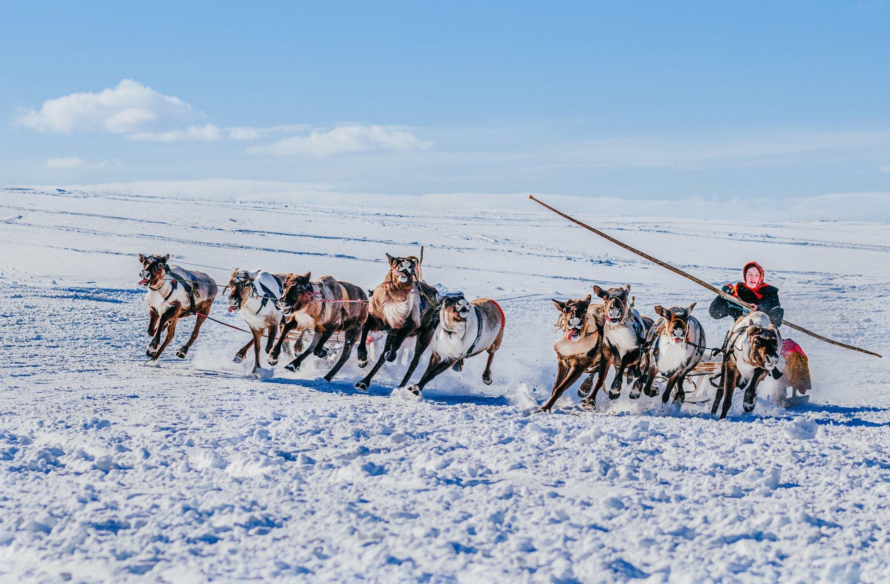 ямал , олени, природа, салехард , гонки, ямал , народы севера, Братцева Анастасия
