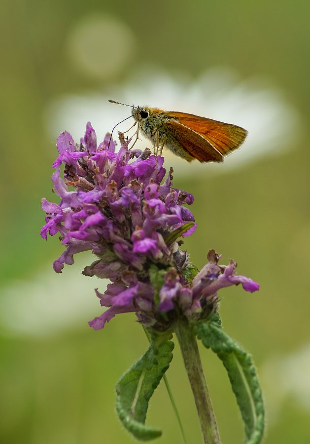 Бабочка Толстоголовка, Чепленко Алексей