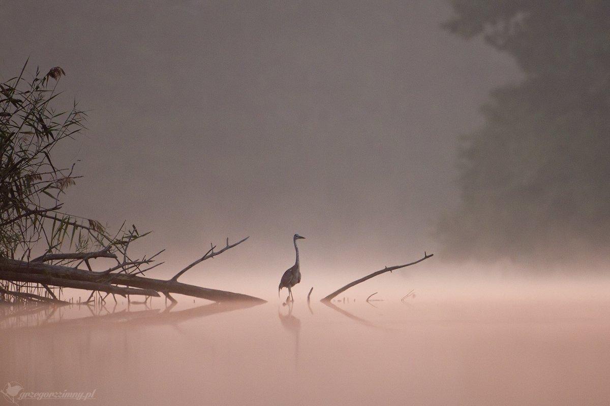 great egret, mist, sunrise, pond, nature, wildlife, morning, Grzegorz Zimny