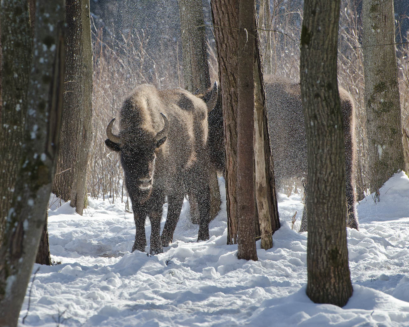 зима, зубры, животные, Михаил Агеев