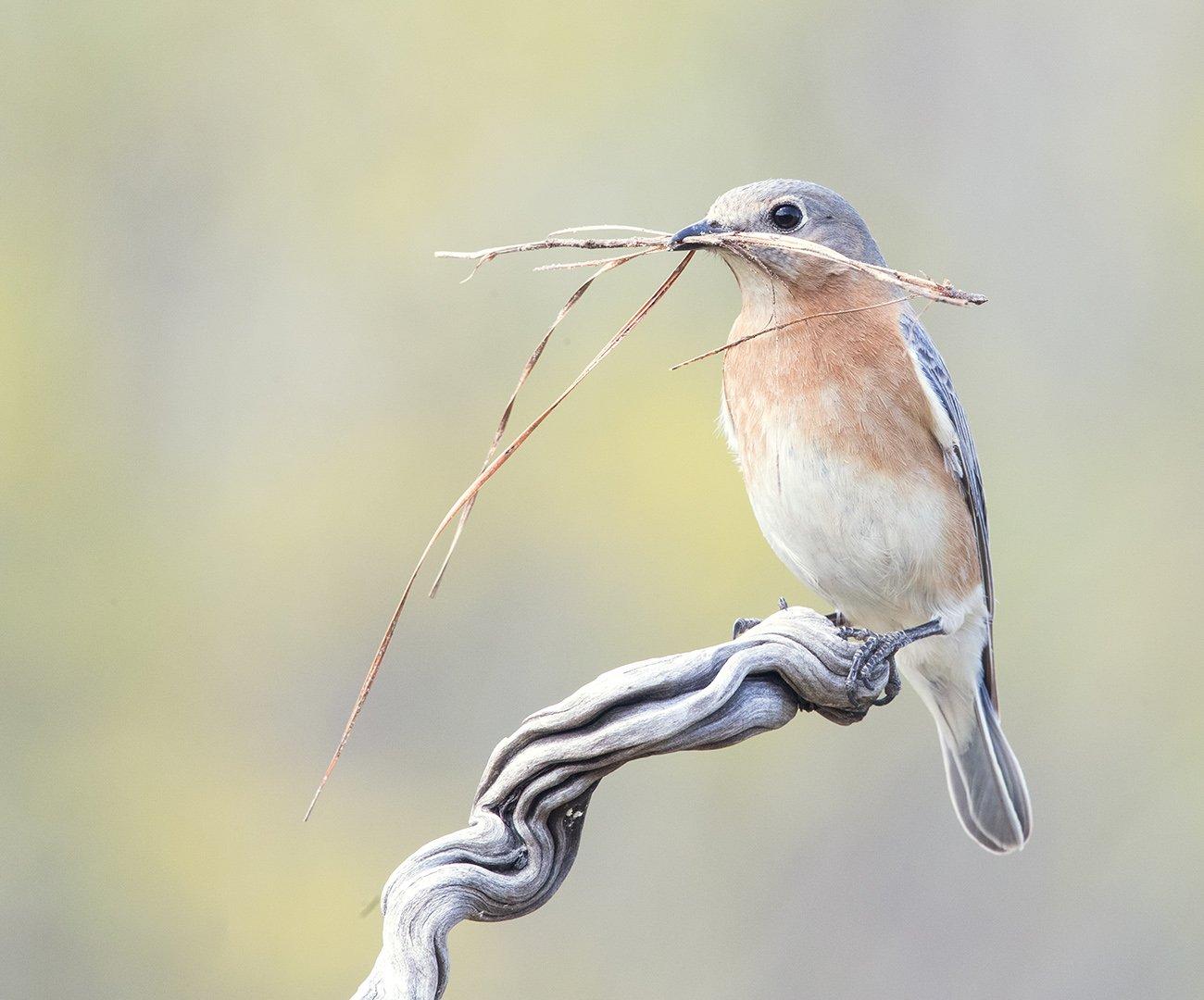 восточная сиалия, eastern bluebird, bluebird, Elizabeth E
