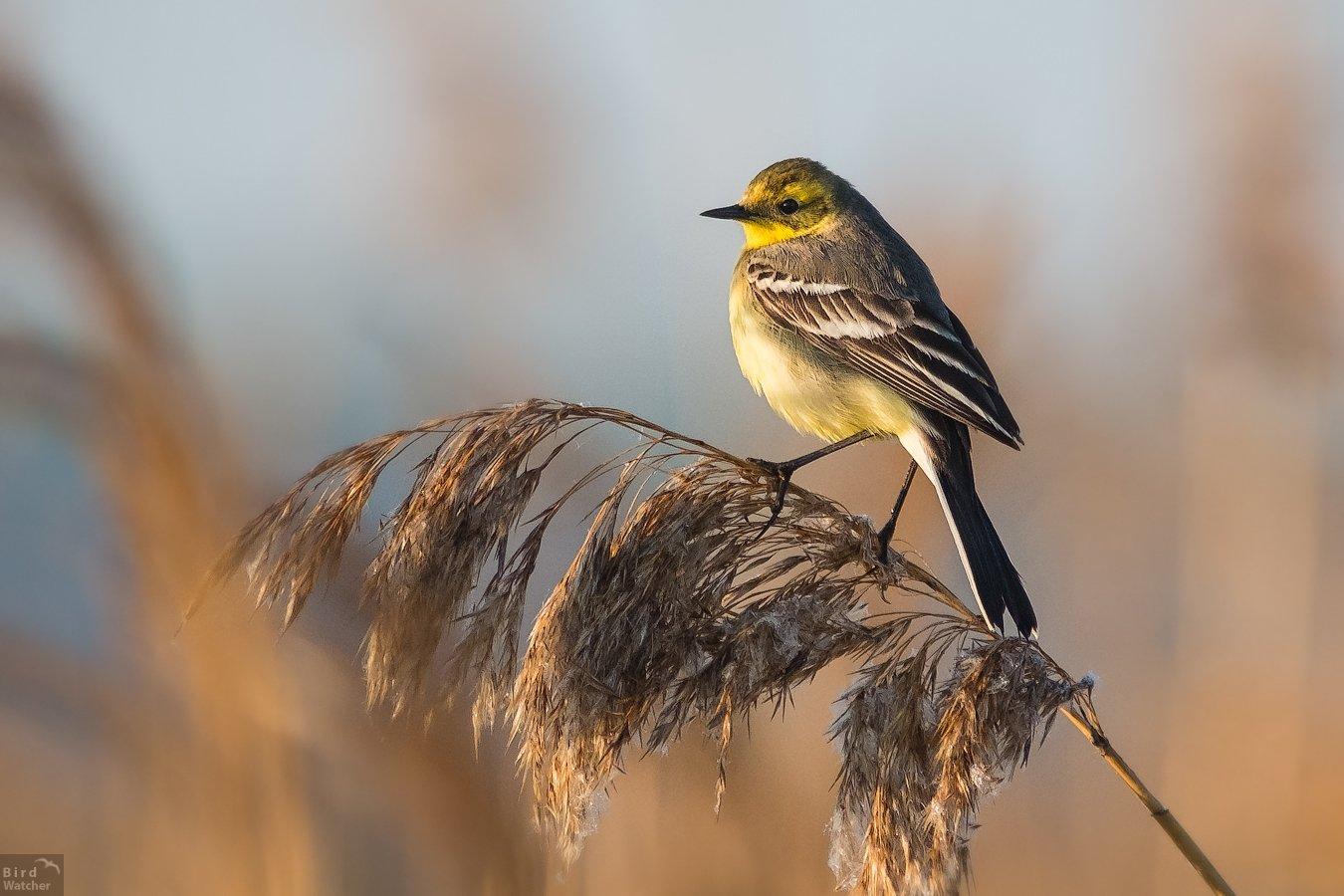 bird, Citrine wagtail, Motacilla citreola, Желтоголовая трясогузка, birds, Nature, Bird Watcher
